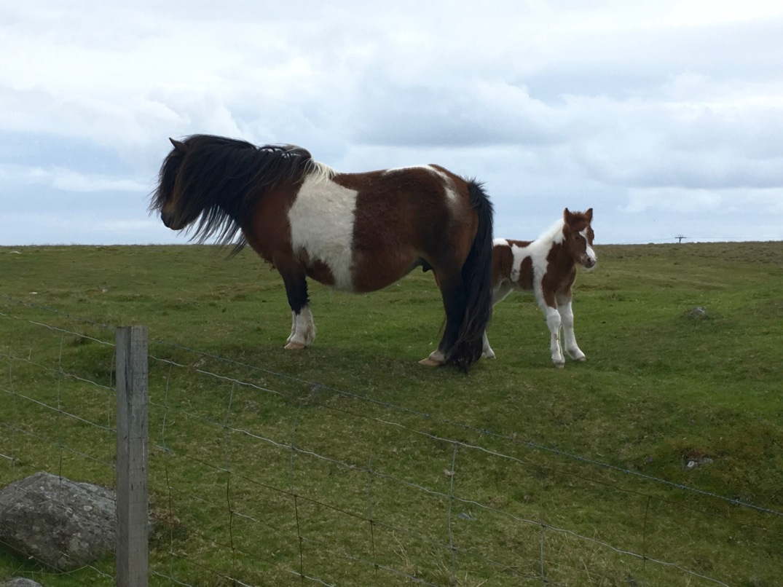 Shetland_Ponies