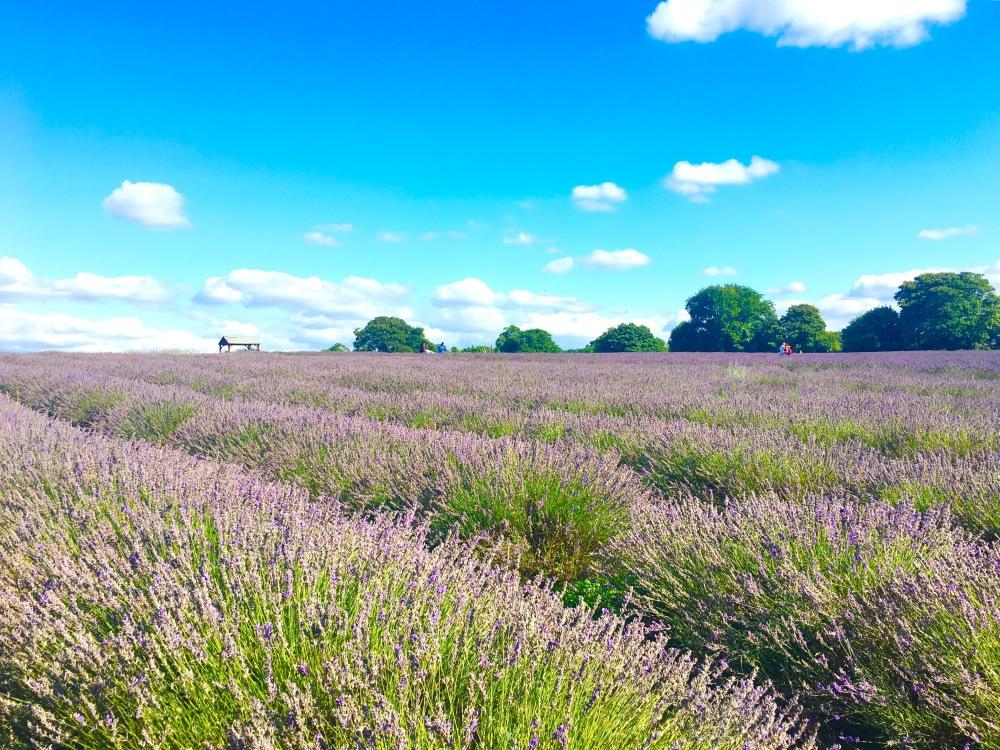 LavenderTrip_1