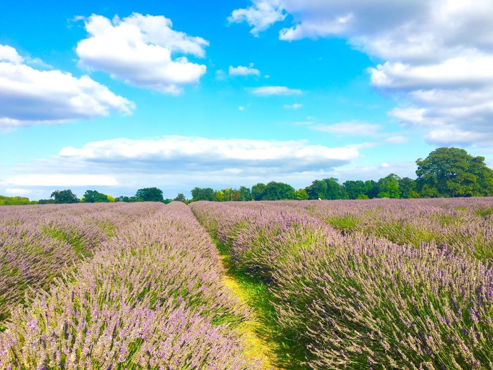 LavenderTrip_2