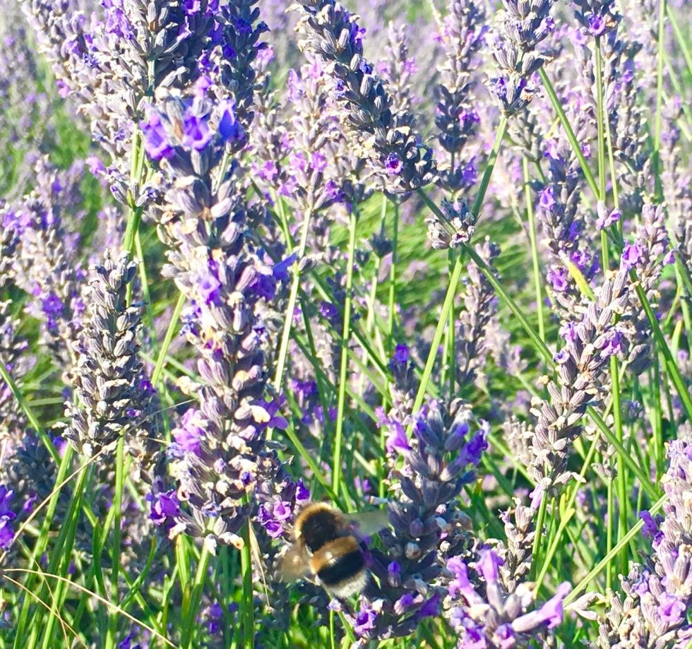 LavenderTrip_4