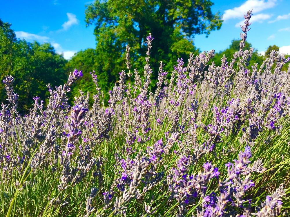 LavenderTrip_6.jpg