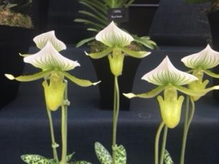 RHSOrchidsShow2018_pitcherorchids